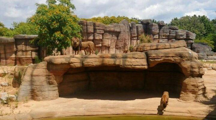 Λιοντάρια βρέθηκαν θετικά στον κορονοϊό
